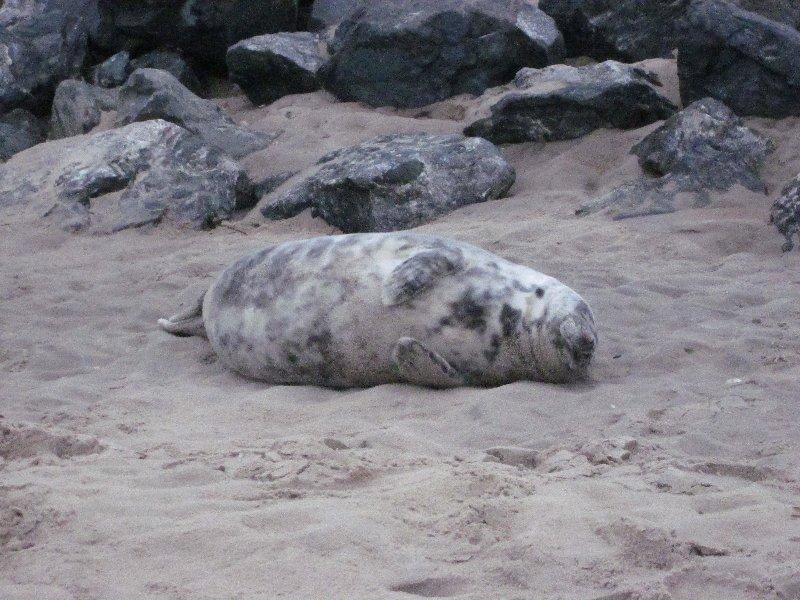 Zeehondjes op het strand